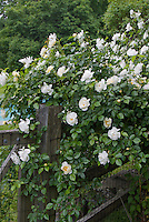 Climbing Iceberg roses, White climbing roses on wooden fence, Rosa