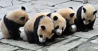 Panda's, all born from mothers evacuated from Wolong Panda base in Sichuan after  devasting earthquake in 2008, play in the panda kindergarten at Bi Fengxia in the mountains of Sichuan, China.  Thirteen pandas on total were born from evacuated mothers.