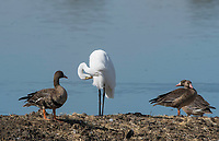 Great Egret, Ardea alba, and Greater White-fronted Geese, Anser albifrons, at Colusa National Wildlife Refuge, California