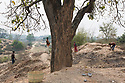 India - Jharkhand - Dhab - Villagers picking up mahua fruits that fell from the tree. Mahua is used to produce local alcohol which will be sold at the market.