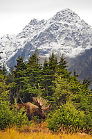 Bull Moose during Fall rut in Chugach Mountains, Chugach State Park, Alaska.