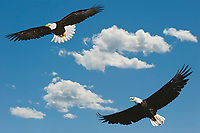 Bald Eagles and clouds.