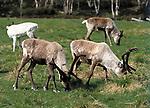 weden, Reindeer (Rangifer tarandus)   Schweden, Rentiere (Rangifer tarandus)