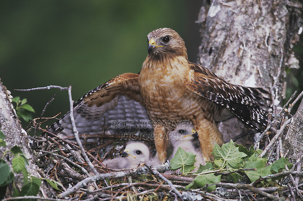 Red-shouldered Hawk, Buteo lineatus,adult mantling young in nest, Raleigh, Wake County, North Carolina, USA