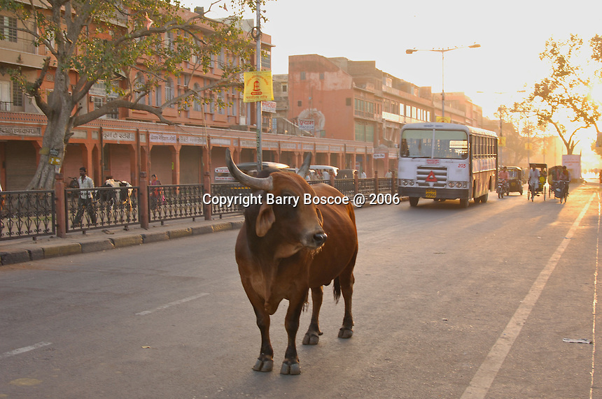 Bull on the local city street in early morning traffic in Jaipur, India.
