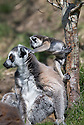 """16/05/16<br /> <br /> """"Go on, don't be scared, up you go""""<br /> <br /> Three baby ring-tail lemurs began climbing lessons for the first time today. The four-week-old babies, born days apart from one another, were reluctant to leave their mothers' backs to start with but after encouragement from their doting parents they were soon scaling rocks and trees in their enclosure. One of the youngsters even swung from a branch one-handed, at Peak Wildlife Park in the Staffordshire Peak District. The lesson was brief and the adorable babies soon returned to their mums for snacks and cuddles in the sunshine.<br /> All Rights Reserved F Stop Press Ltd +44 (0)1335 418365"""