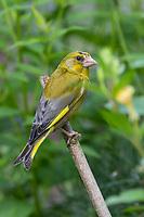 Grünfink, Grünling, Männchen, Sitzwarte, Grün-Fink, Chloris chloris, Carduelis chloris, greenfinch, male, Verdier d'Europe