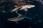 Carcharhinus falciformis, Cuba Underwater, Gardens of the Queen, Sunlit silky sharks at the surface, teaming with sharks, Silky with hook in its mouth, conservation,