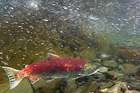 Sockeye salmon, Oncorhynchus nerka Juneau , Alaska