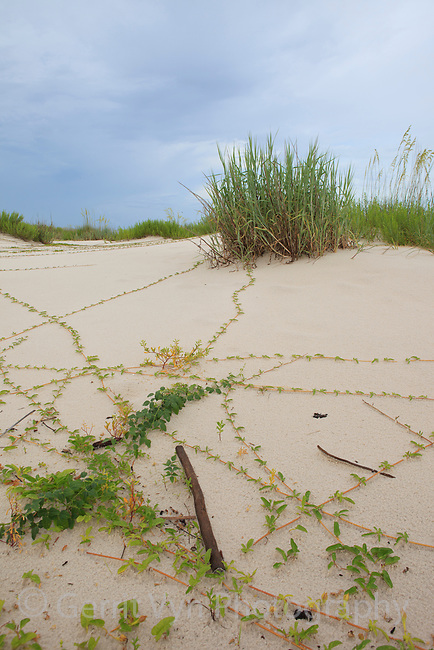 Coastal dunes at Bon Secour NWR. Baldwin County, Alabama. June.