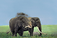 628507043 two wild bull elephants loxodonta africana with magnificent tusks enjoy a dust bath while standing on the open veldt in ngorogoro crater in tanzania in east africa