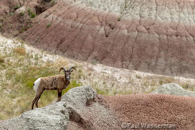 Mountain Goat at Badlands National Park, South Dakota
