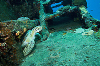 Of green sea turtle at the tugboat wreck of the Northwind shallow wrecks of Butler Bay, St. Croix US version of