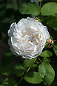 Rosa Winchester Cathedral ('Auscat'), early August. A white version of the popular pink Rosa Mary Rose ('Ausmary'), from David Austin.