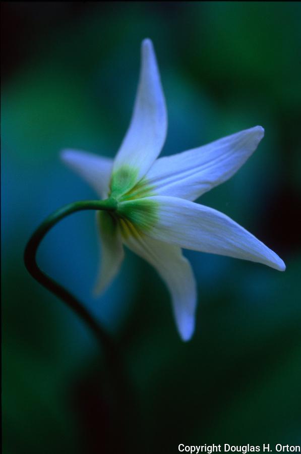 Single avalanche lily graces open space along Killen Creek near Mount Adams in the Cascade Mountains.