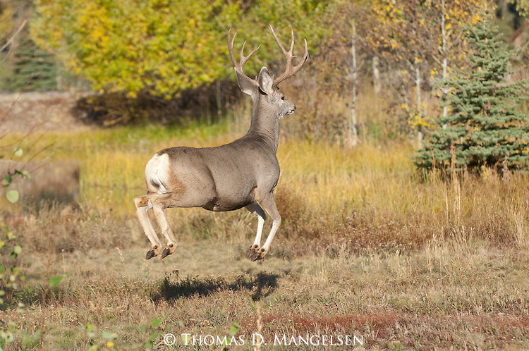 A mule deer buck bounds across a clearing in Northwest Wyoming.