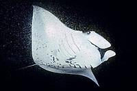 reef manta ray, feeding on plankton at night, Mobula alfredi, Kona, Big Island, Hawaii, USA, Pacific Ocean