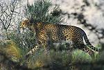 Cheetah walking at Living Desert Reserve