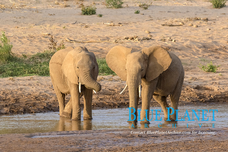 African Elephants (Loxodonta africana) two immatures, drinking at river in semi-desert dry savannah, Samburu National Reserve, Kenya, Africa