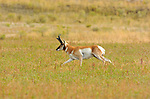 Pronghorn Male, North Entrance, Yellowstone National Park, Gardiner, Montana