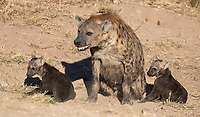 We've been fortunate to see hyena dens during my last couple of visits to Kruger.<br /> <br /> Photo © Jennifer Waugh