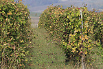 The vine yards turning autumnal colours during the 99th edition of Milan-Turin 2018, running 200km from Magenta Milan to Superga Basilica Turin, Italy. 10th October 2018.<br /> Picture: Eoin Clarke | Cyclefile<br /> <br /> <br /> All photos usage must carry mandatory copyright credit (© Cyclefile | Eoin Clarke)