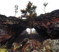 An 'ohi'a tree stands tall in front of an old lava flow arch during a foggy day, Hualalai, Big Island.