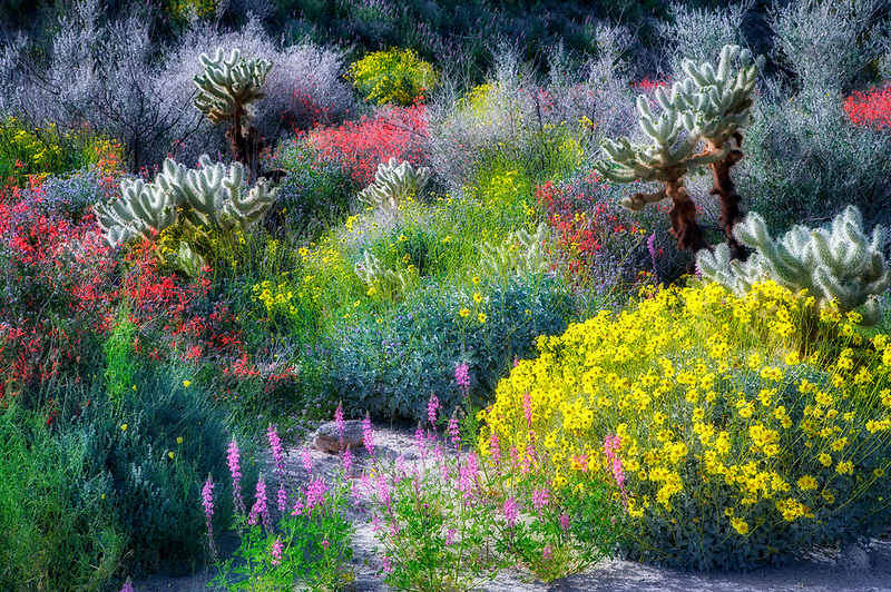 Yellow flowers of Brittlebrush (Encelia farinosa),cholla catus, and red Chuparosa. Anza Borrego Desert State Park, California