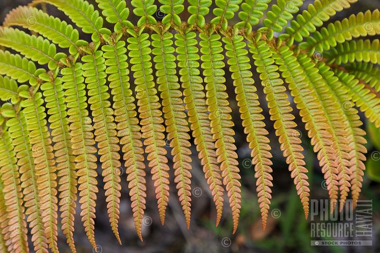 Close-up of 'ama'u fern frond at Hawai'i Volcanoes National Park, Big Island.