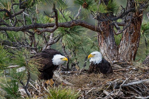 Bald Eagle Nest (Haliaeetus leucocephalus)--adults in nest in tall ponderosa pine tree.  Oregon.  April.