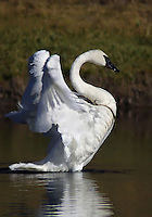 The Trumpeter Swan (Cygnus buccinator) feed while swimming, sometimes up-ending or dabbling to reach submerged food. The diet is almost entirely aquatic plants. In winter, they may also eat grasses and grains in fields. The young are fed on insects and small crustaceans along with plants at first, changing to a vegetation-based diet over the first few months. Predators of Trumpeter Swan eggs include  ravens, raccoons, wolverines, black bears, grizzly bears, coyotes, wolves, and river otter. Madison River, Yellowstone.