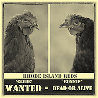 """Highly valued for their meat & eggs, Bonnie & Clyde are at the top of the """"wanted' list :)"""