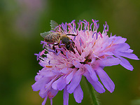 Honeybee forage a field scabious - Une abeille butine une scabieuse des champs