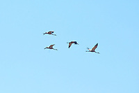 Saurus Cranes (per Chook), Mareeba Wetlands, Queensland, Australia