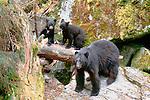 Black bear sow and cubs, Anan Creek, Tongass National Forest, Alaska, USA