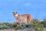 Female puma (Puma concolor) (southern subspecies Puma concolor puma) (in N. America, cougar or mountain lion) with the blue of a glacial lake (Lago Sarmiento) behind. On private ranch land (Estancia Amarga) on the outskirts of Torres del Paine National Park, Patagonia, Chile.