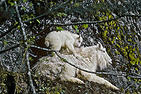 Mountain Goats (Oreamnos americanus)--nanny with young kid.  Pacific Northwest.  May.