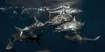 Silky shark at the surface. Sunlit sharks, Carcharhinus falciformis, Gardens of the Queen, Cuba