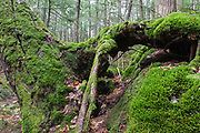 Moss covered pine tree in the New Hampshire White Mountains during the spring months.