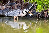 great blue heron, Ardea herodias cognata, Galapagos subspecies, adult, feeding on a green sea turtle hatchling, Chelonia mydas, Las Bachas, Santa Cruz Island, Galapagos Islands, Ecuador, Pacific Ocean