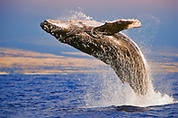 Humpback Whale, Megaptera novaeangliae, breaching under golden sunset light, Hawaii, USA, Pacific Ocean