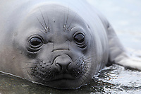 """Southern Elephant Seal (Mirounga leonina), immature or """"weaner"""" in the water at Sandy Bay, Macquarie Island, Australia."""