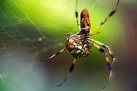 Golden Silk Spider (Nephila clavipes) with beetle.© 2003 Mark J. Barrett.www.markjbarrett.com.tel 352-236-2282