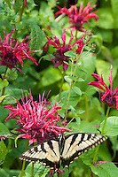 Swallowtail butterfly on beebalm (Monarda didyma)