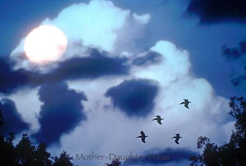 Brown pelicans, peleganus occidentalis, fly across a deep blue dusky/night sky lit with a full moon, Florida
