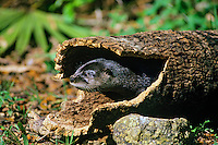 Young River Otter pup (Lutra canadensis) in hollow log, U.S.