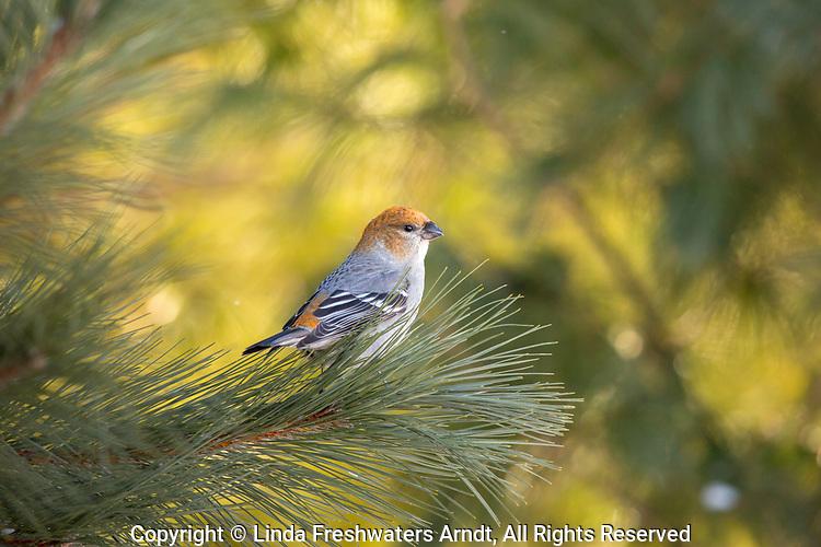 Female pine grosbeak in northern Wisconsin.