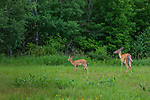 White-tailed doe and fawn in a meadow in northern Wisconsin.