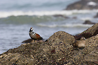 Harlequin Duck (Histrionicus histrionicus) pair along Pacific Northwest Coast.