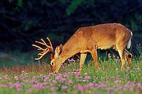 White-tail deer buck grazing among wildflowers.